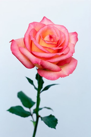 Pink rose in bloom : Stock Photo
