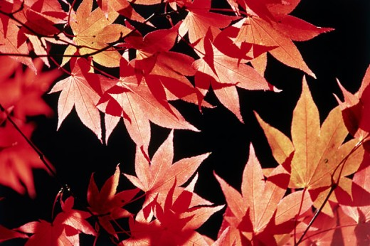 Stock Photo: 1447-220 Close-up of Japanese Maple leaves (Acer palmatum)