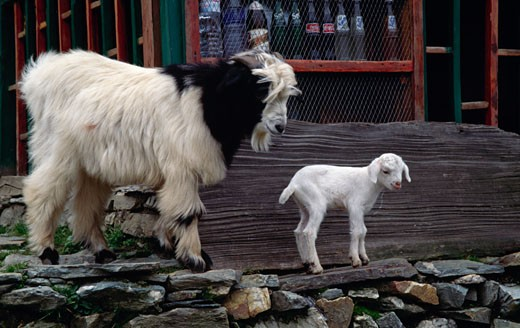 Goat standing with its young one, Nepal : Stock Photo