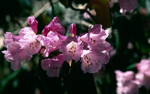 Close-up of Rhododendron flowers : Stock Photo