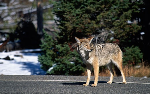 Coyote standing on the road, Yellowstone National Park, Wyoming, USA (Canis latrans) : Stock Photo