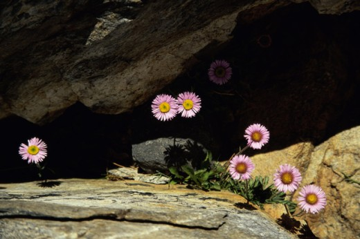 Daisy flowers growing between rocks : Stock Photo