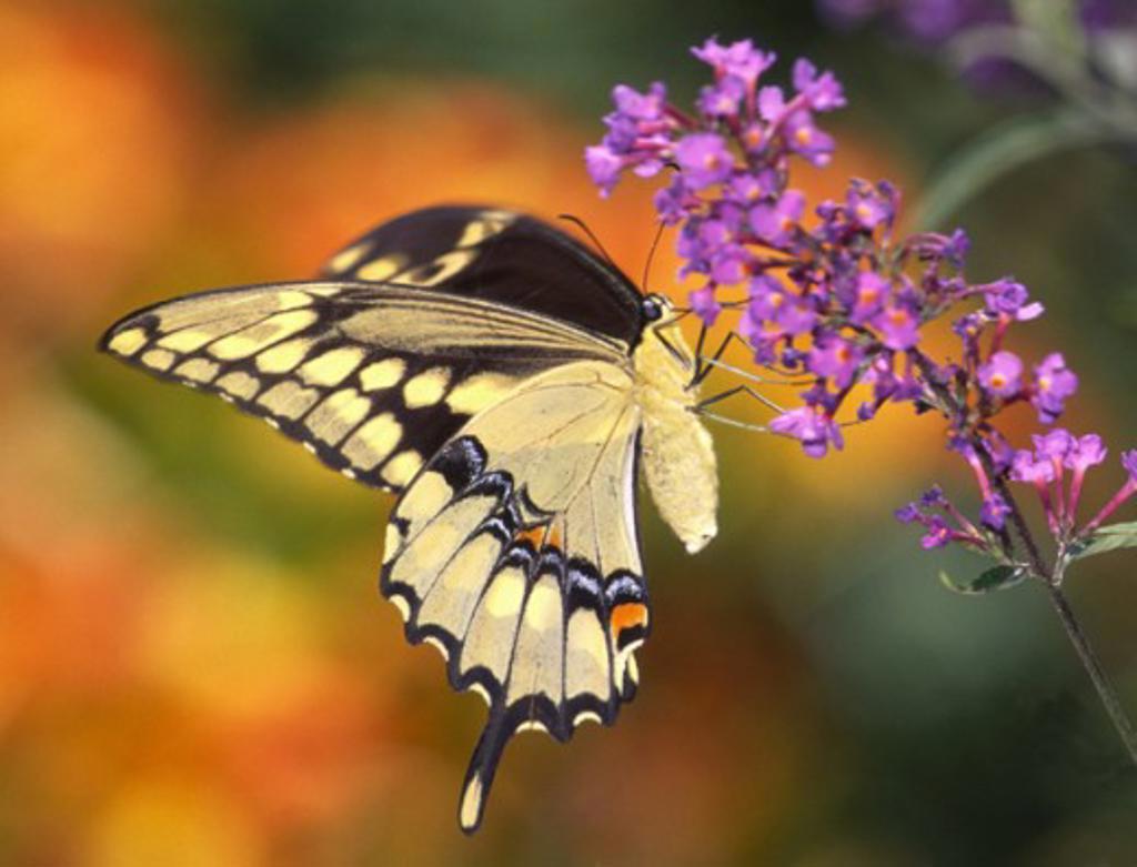 Stock Photo: 1463-108 Giant Swallowtail