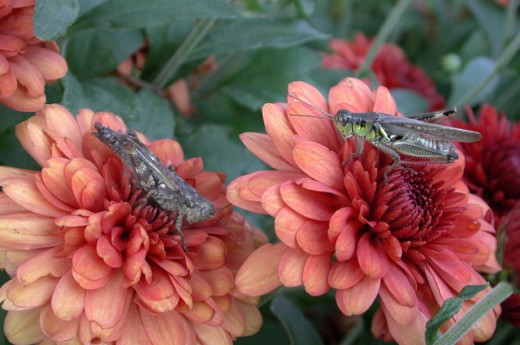 Stock Photo: 1463-134 Grasshoppers