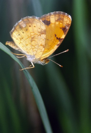 Crescentspot Butterfly : Stock Photo