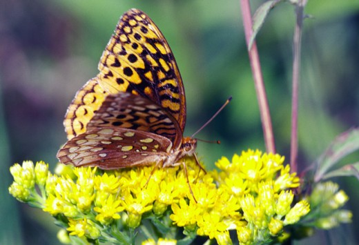 Close-up of a Fritillary Butterfly pollinating a flower : Stock Photo