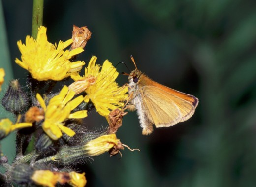 Close-up of an European Skipper Butterfly pollinating a flower (Thymelicus lineola) : Stock Photo