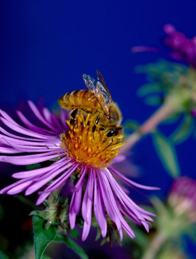 Stock Photo: 1463-413 Close-up of a honey bee on a flower (Apis mellifera)