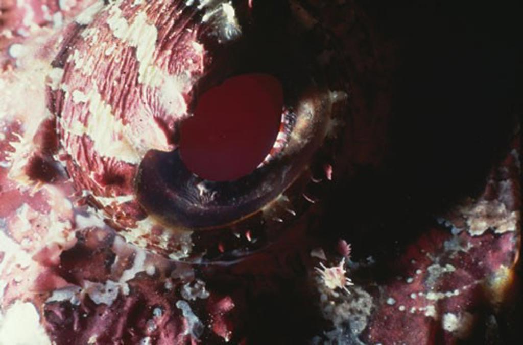 Stock Photo: 1481-109 Spotted Scorpionfish (Scorpaena plumieri) underwater