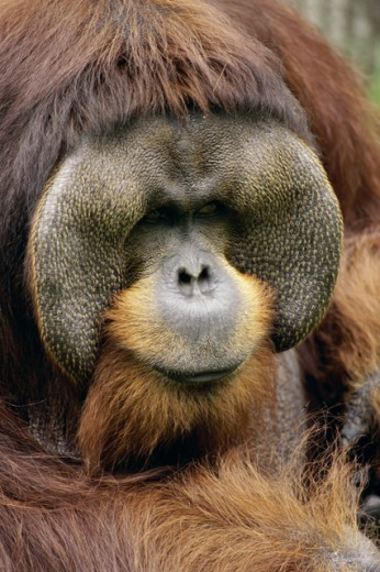 Stock Photo: 1481-145 Male Orangutan