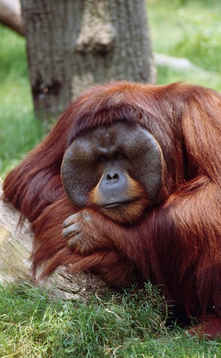Male orangutan (Pongo pygmaeus) in a forest : Stock Photo