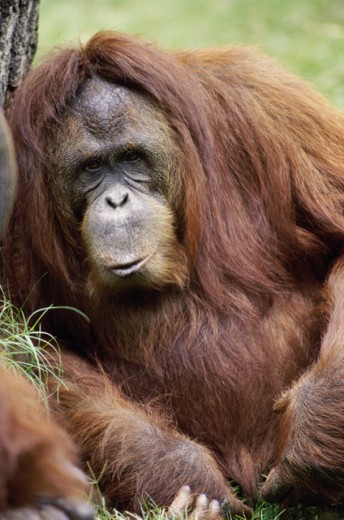 Stock Photo: 1481-148 Female Orangutan