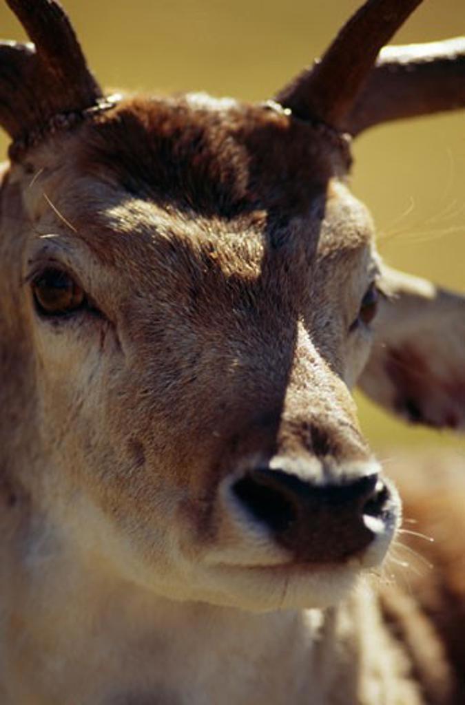 Stock Photo: 1481-183 Close-up of a deer