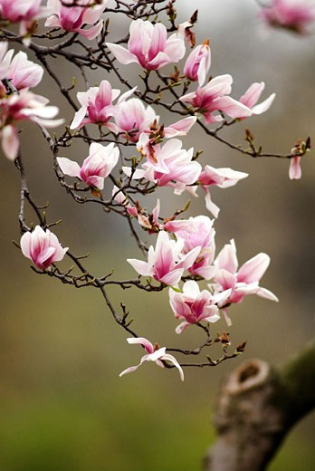 Stock Photo: 1481-234 Close-up of pink flowers on a branch
