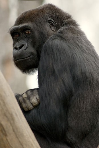 Close-up of a young female gorilla : Stock Photo