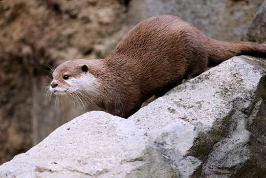 Stock Photo: 1481-237 Oriental Short-Clawed otter (Aonyx cinerea) on a rock