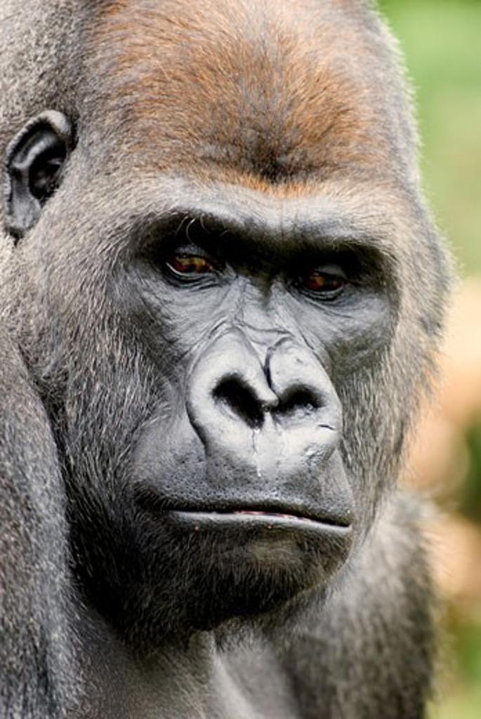 Close-up of a male Silverback gorilla (Gorilla gorilla gorilla) : Stock Photo