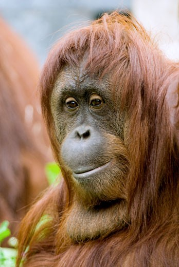 Close-up of a male orangutan : Stock Photo