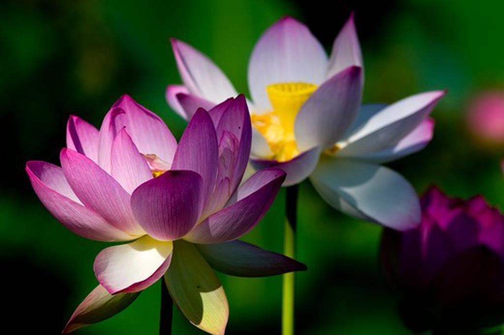 Stock Photo: 1481R-274 USA, Washington, Washington DC, Water lilies in Aquatic Gardens