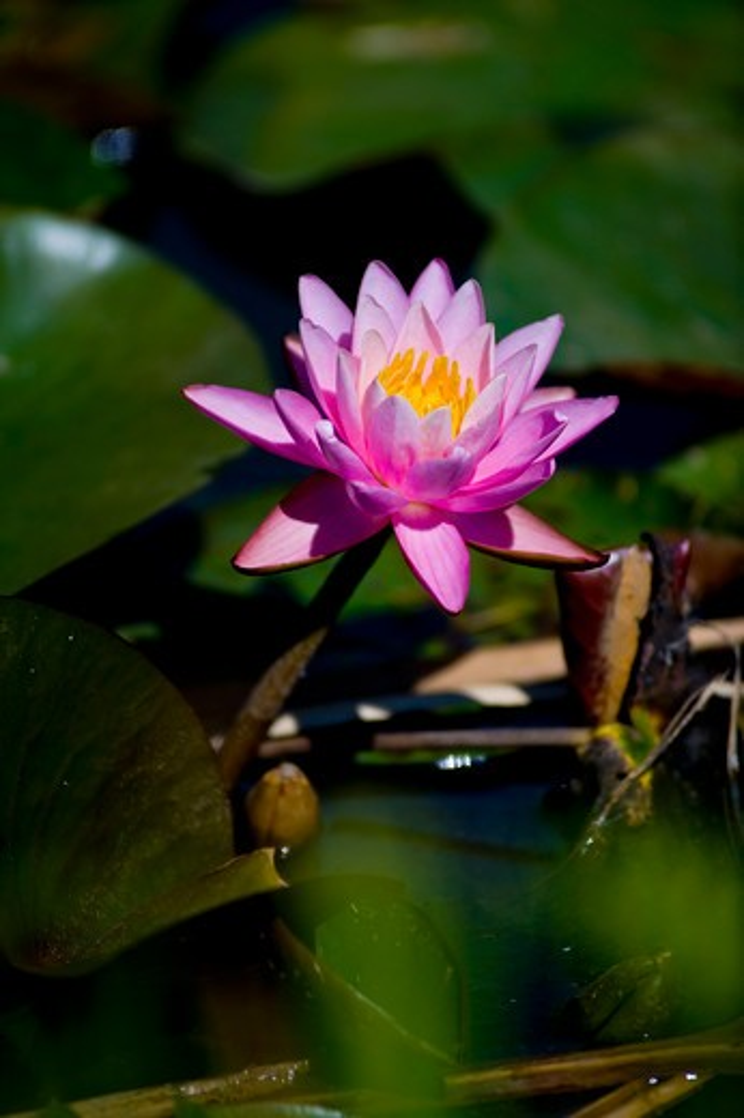 Stock Photo: 1481R-299 USA, Washington, Washington DC, Water lilies in Aquatic Gardens