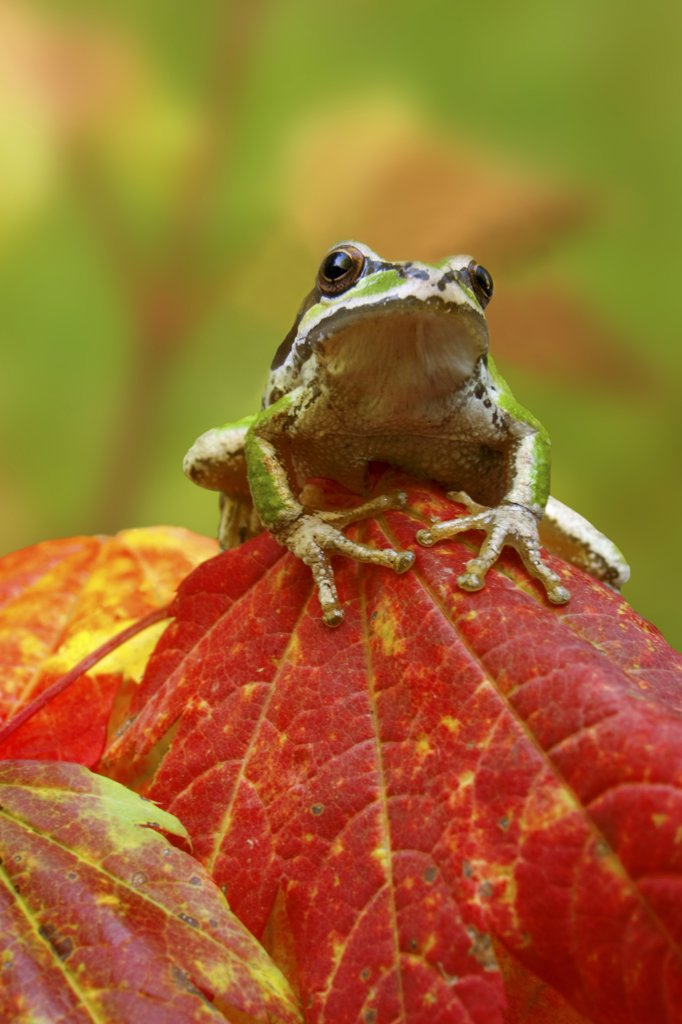 Stock Photo: 1482-846 Close-up of a Green Tree Frog on a leaf, Olympic National Park, Washington, USA