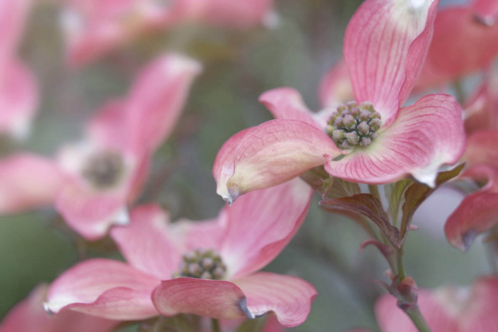Stock Photo: 1482R-1017 Close-up of two Pink Flowering Dogwood blossoms (Cornus florida var. rubra)