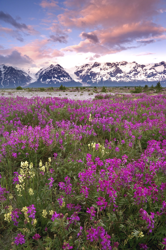 Flowers in a field with a mountain range in the background, Tatshenshini-Alsek Wilderness Park, Alaska, USA : Stock Photo