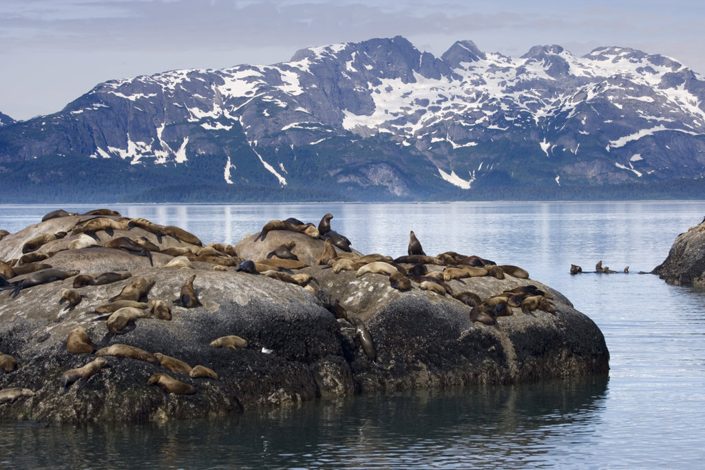 Steller Sea Lions (Eumetopias jubatus) relaxing on a rock, Glacier Bay National Park, Alaska, USA : Stock Photo
