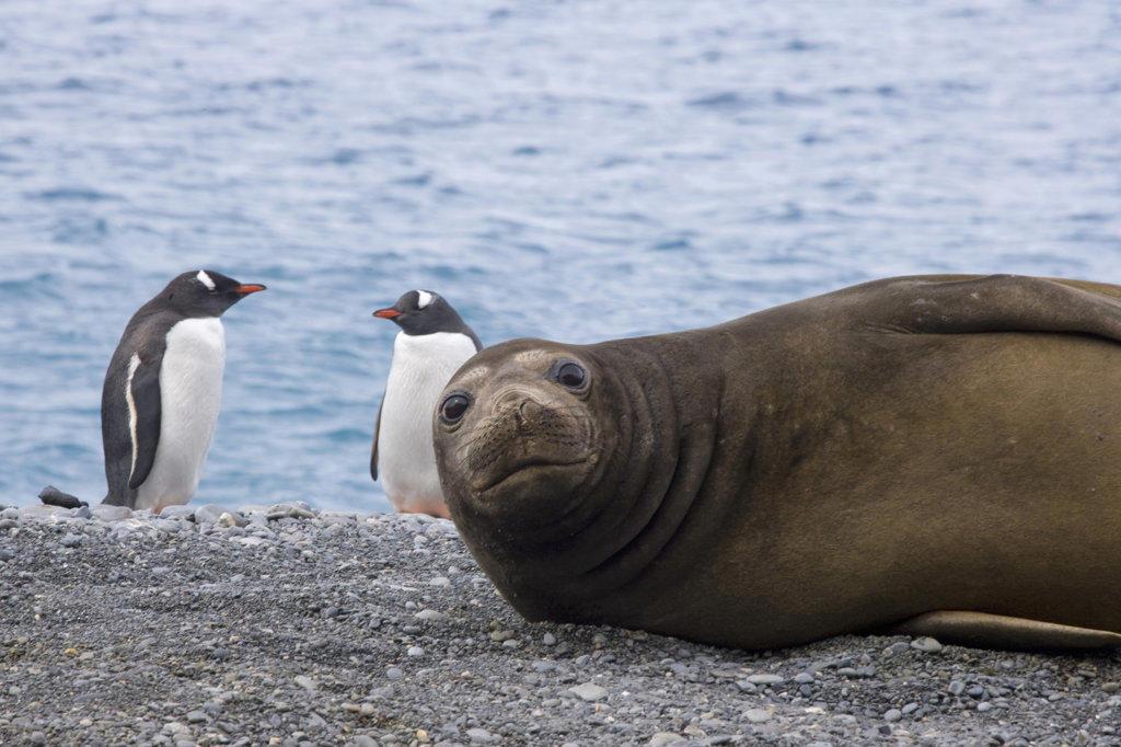 Southern Elephant seal (Mirounga leonina) and two Gentoo penguins (Pygoscelis papua) at the coast, South Georgia Island, South Sandwich Islands  : Stock Photo
