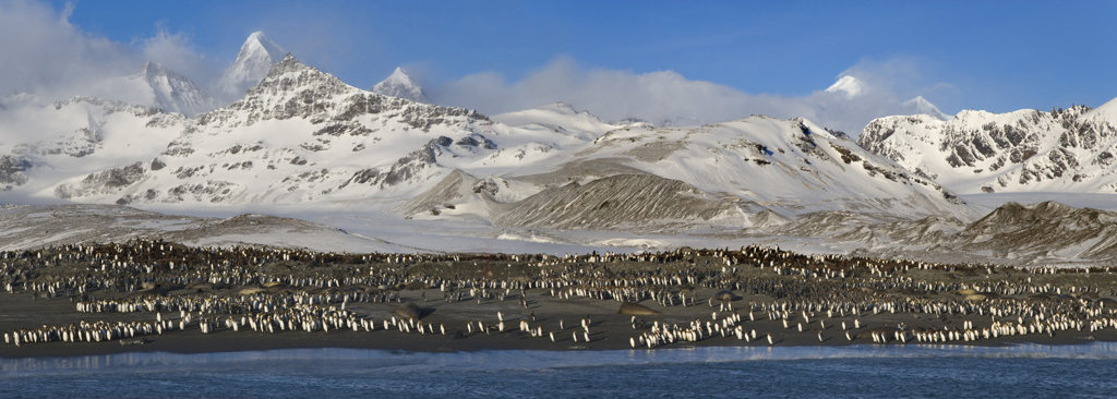 Stock Photo: 1482R-1456 King penguins (Aptenodytes patagonicus) and Southern Elephant seals (Mirounga leonina) on the beach, St. Andrews Bay, South Georgia Island, South Sandwich Islands