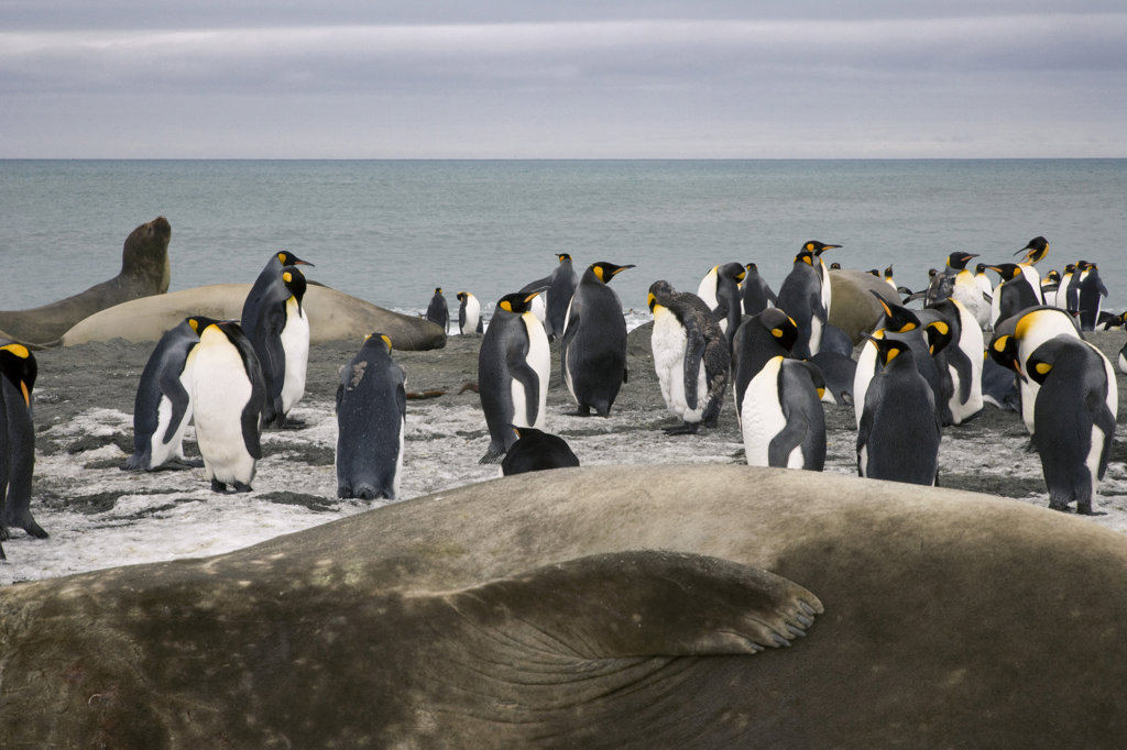 Stock Photo: 1482R-1543 King penguins (Aptenodytes patagonicus) and Southern Elephant seals (Mirounga leonina) on the beach, St. Andrews Bay, South Georgia Island, South Sandwich Islands