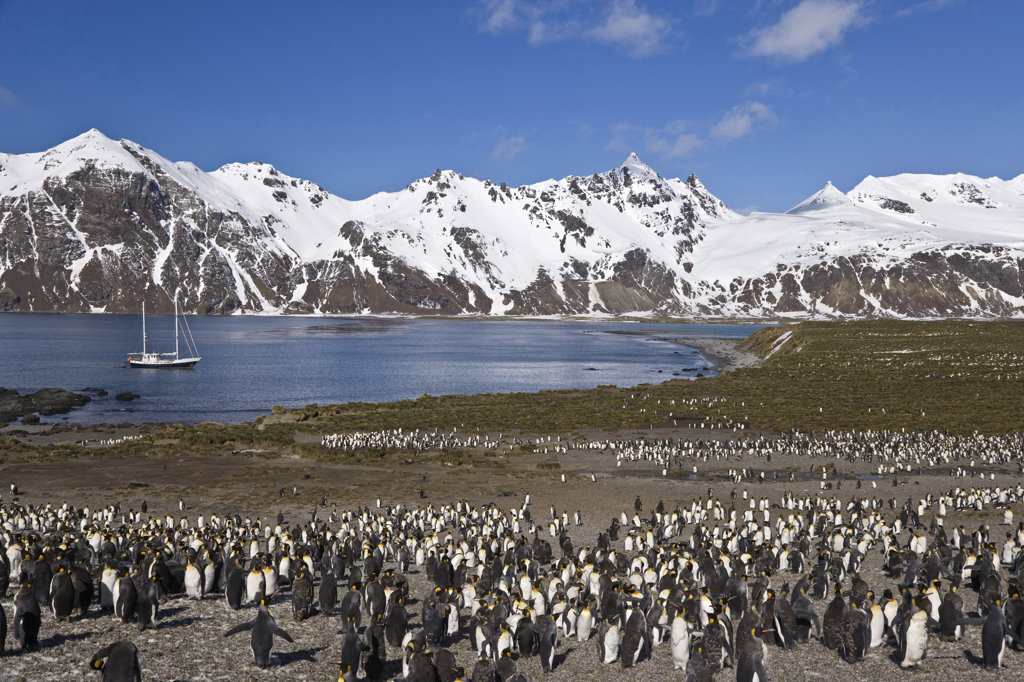 Stock Photo: 1482R-1557 Colony of King penguins (Aptenodytes patagonicus) on the beach, Antarctic Bay, South Georgia Island, South Sandwich Islands