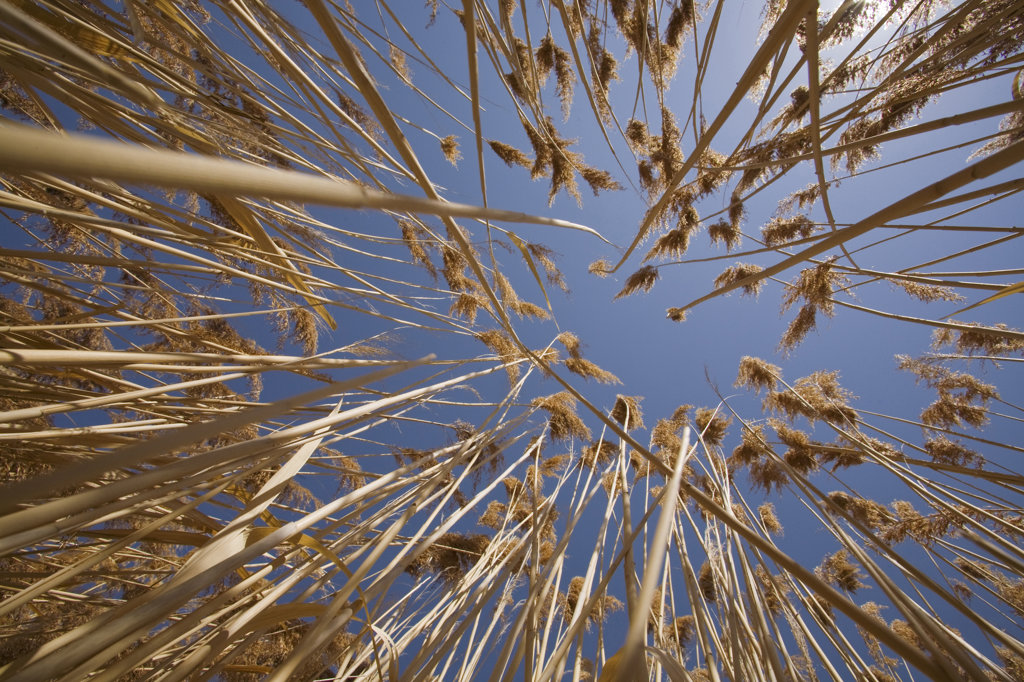 Low angle view of reeds, Bear River Migratory Bird Refuge, Ogden, Utah, USA : Stock Photo