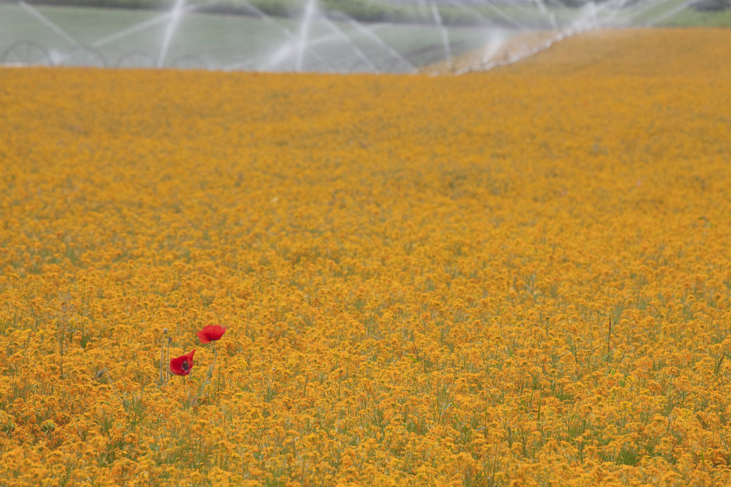 Stock Photo: 1482R-1848 Siberian Wallflowers (Cheiranthus allionii) and Corn Poppies (Papaver rhoeas) in a field, Silverton, Oregon, USA