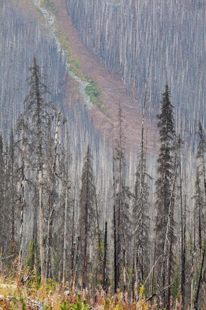 Trees in a forest fire, Kootenay National Park, British Columbia, Canada : Stock Photo