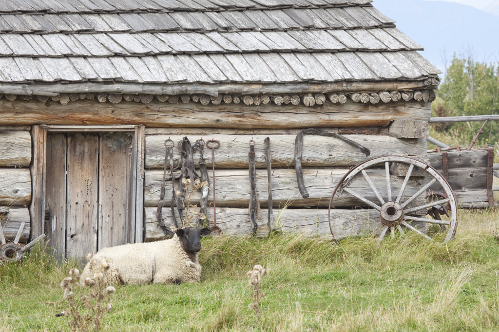 Sheep in front of a log cabin, Fort Steele, British Columbia, Canada : Stock Photo