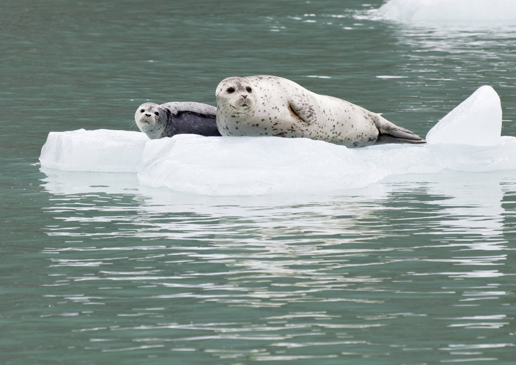 USA; Southeast Alaska; Endicott Arm; harbor seal with pup : Stock Photo