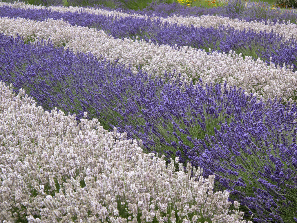 Stock Photo: 1482R-2225 USA, Washington State, Sequim, Lavender field