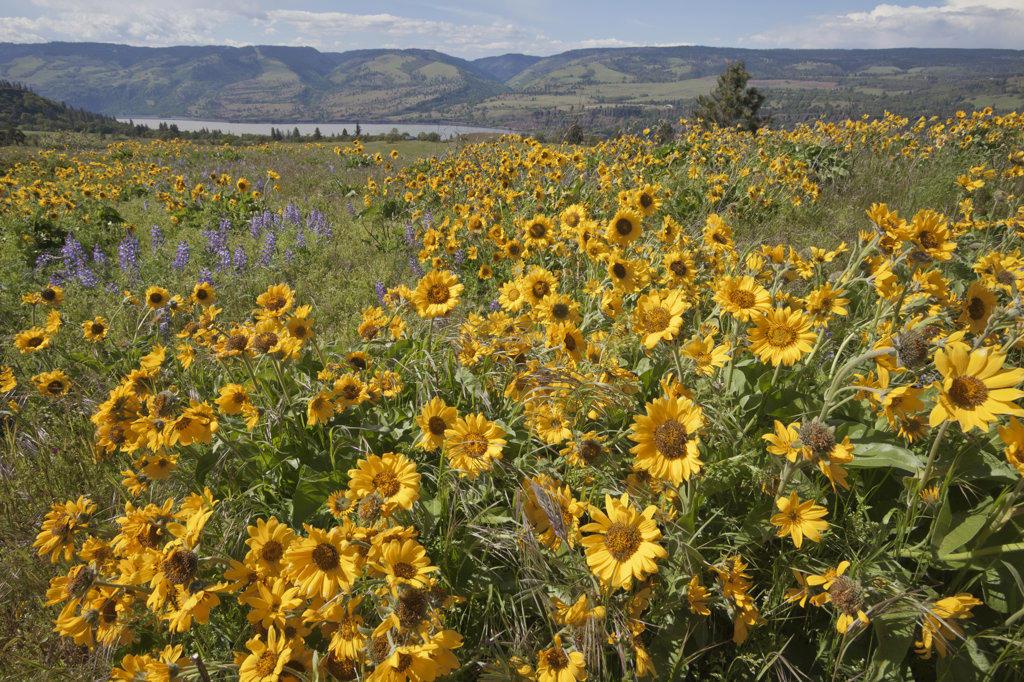 Stock Photo: 1482R-2722 USA, Oregon, Columbia River Gorge, Meadows east of Mosier