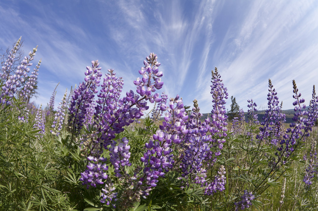 Stock Photo: 1482R-2729 USA, Oregon, Columbia River Gorge, Historic Columbia River Highway from Mosier to Hood River, Lupine