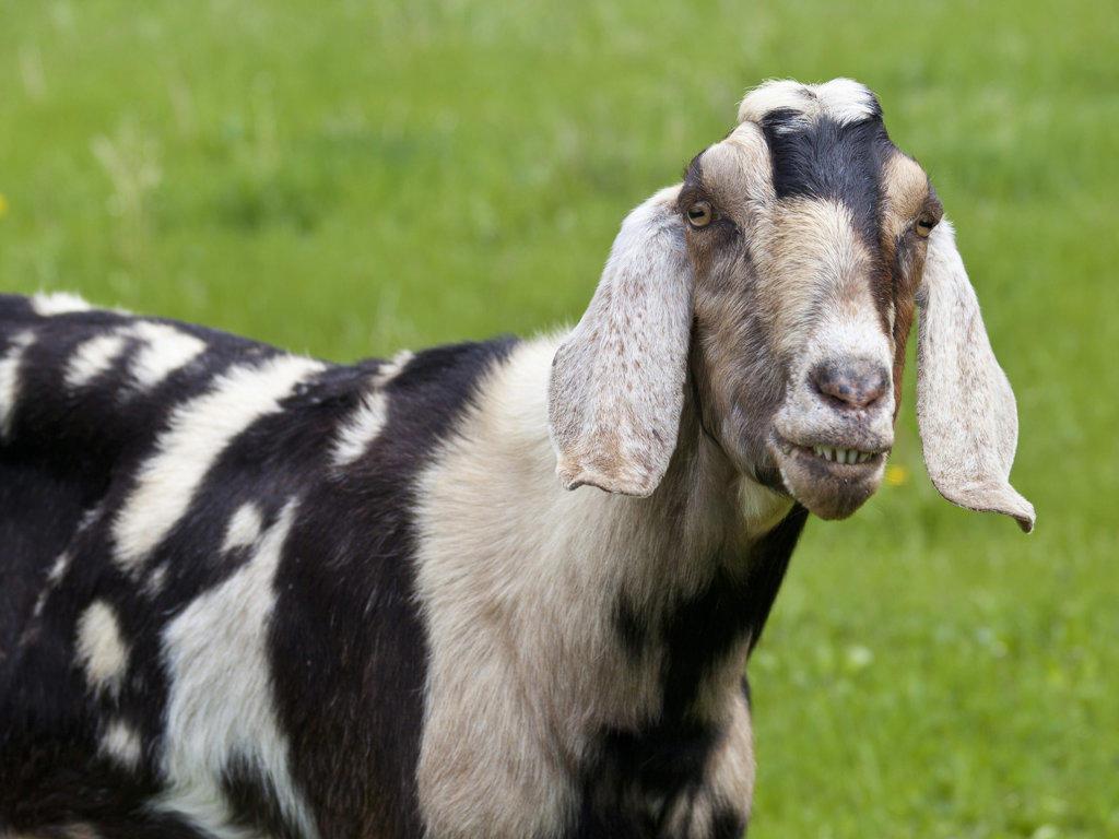 Stock Photo: 1482R-2762 USA, Oregon, Columbia River Gorge, Portrait of goat