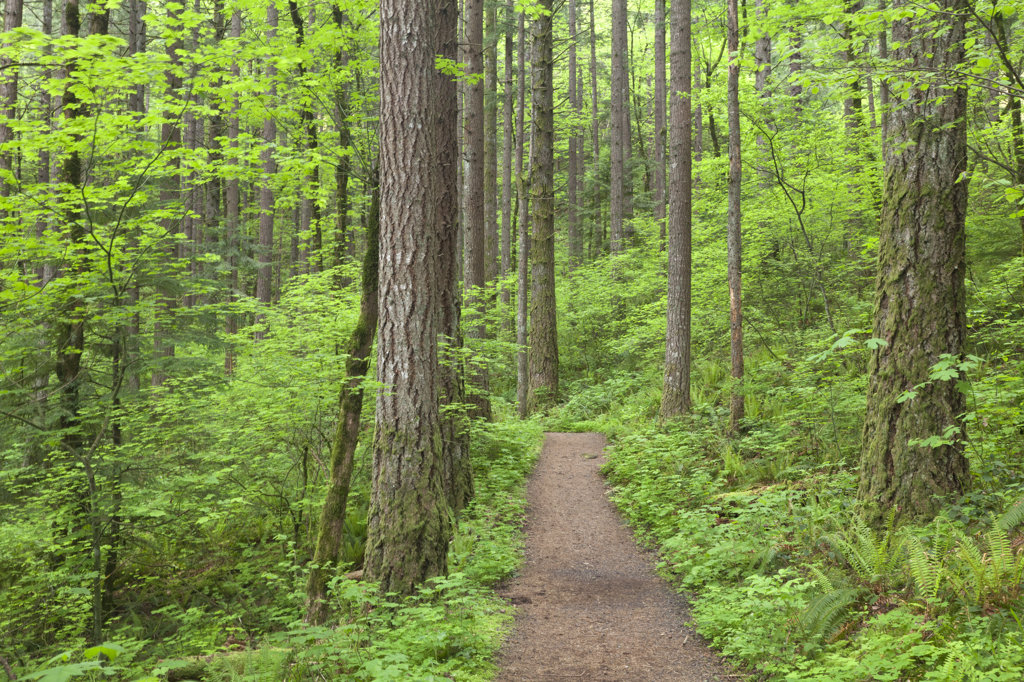USA, Oregon, Columbia River Gorge, Elowah Falls Trail, Footpath through forest : Stock Photo