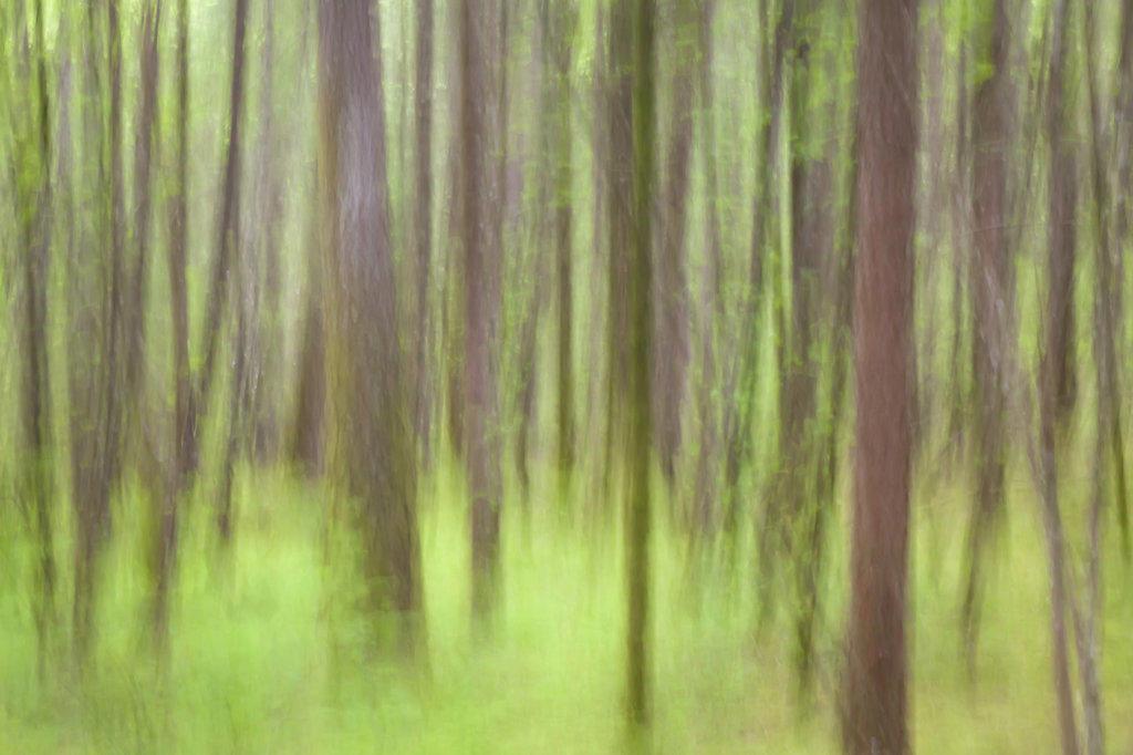 Stock Photo: 1482R-2772 USA, Oregon, Columbia River Gorge, Elowah Falls Trail, Defocused view of tree trunks