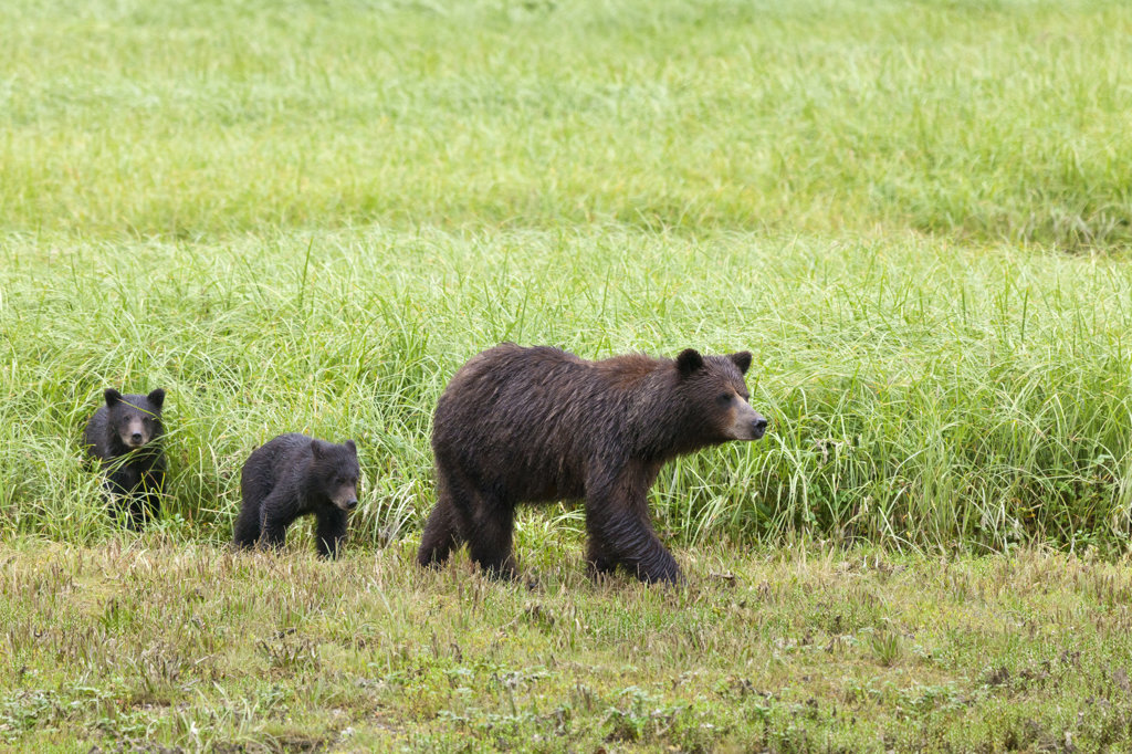 Stock Photo: 1482R-2940 USA, Alaska, Admiralty Island National Monument, Kotznoowoo Wilderness, Tongass National Forest, Brown Bears at Pack Creek