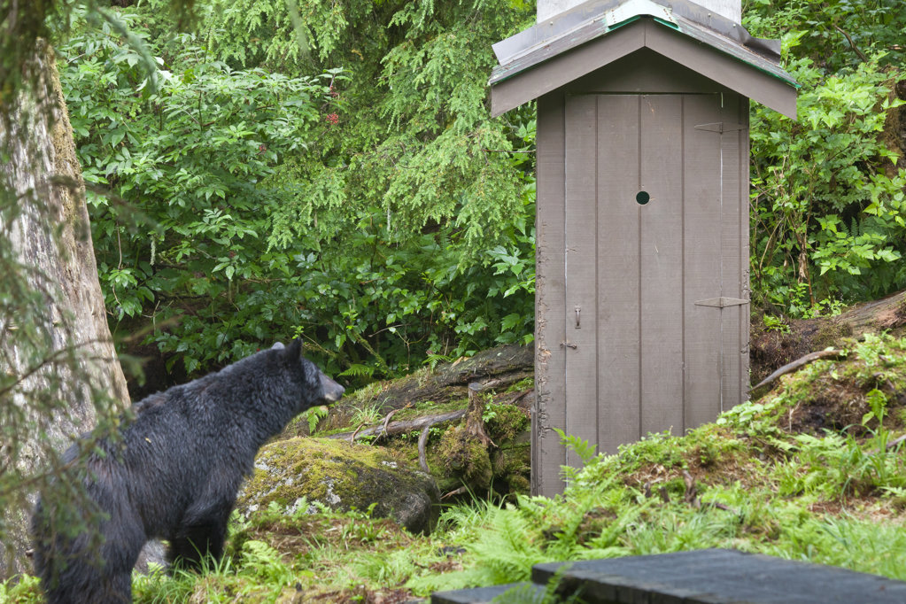 USA, Alaska, Tongass National Forest, Anan Wildlife Observatory, Black Bear Looking at Outhouse : Stock Photo