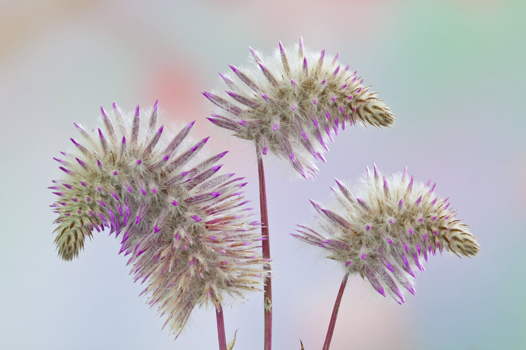 Stock Photo: 1482R-3031 Pink Mulla Mulla, Ptilotus 'Joey', close-up
