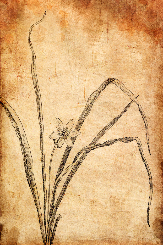 Stock Photo: 1482R-3079 Yellow Star Grass by Marion Satterlee for the book, 'How to Know the Wild Flowers', by Frances Theodora Parsons, 1893
