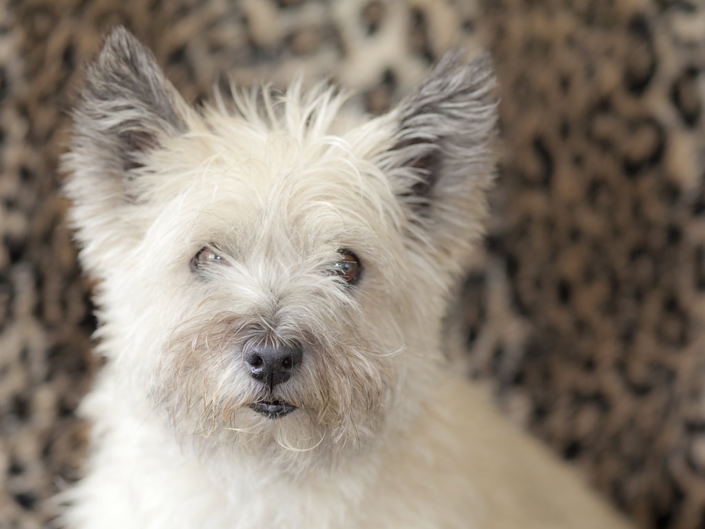 Portrait of Cairn Terrier : Stock Photo