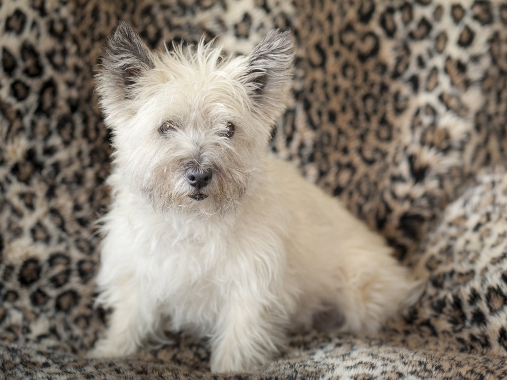 Stock Photo: 1482R-3083 Portrait of Cairn Terrier