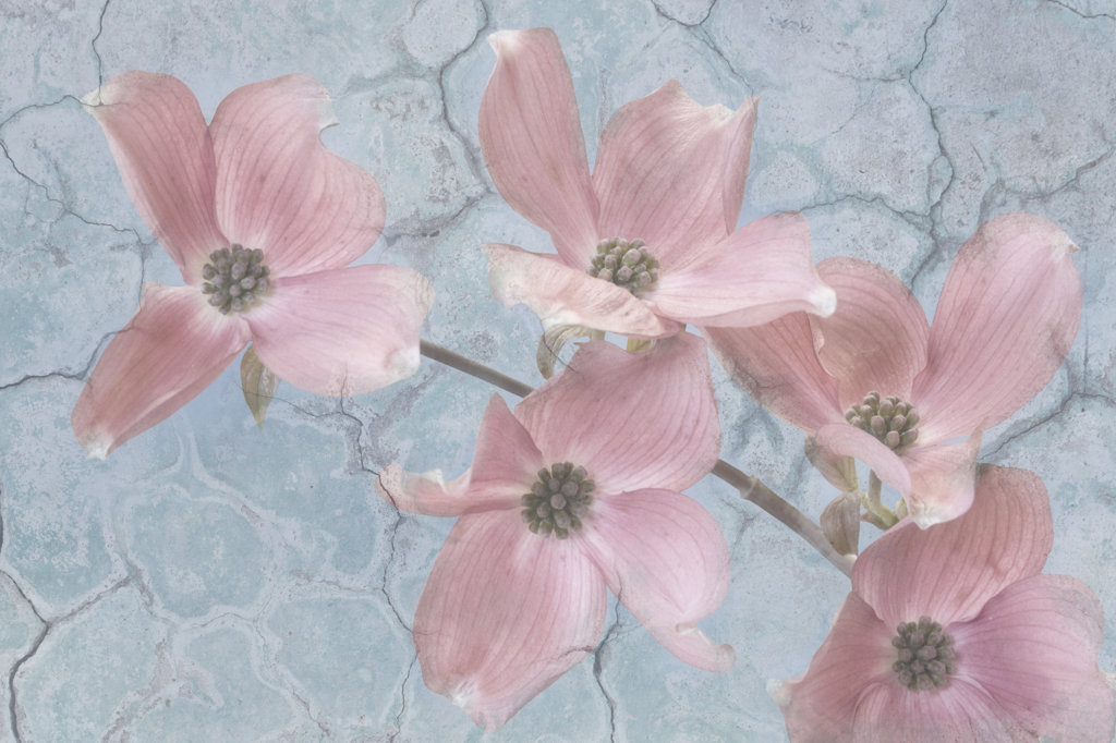 Stock Photo: 1482R-3084 Pink Dogwood Collage